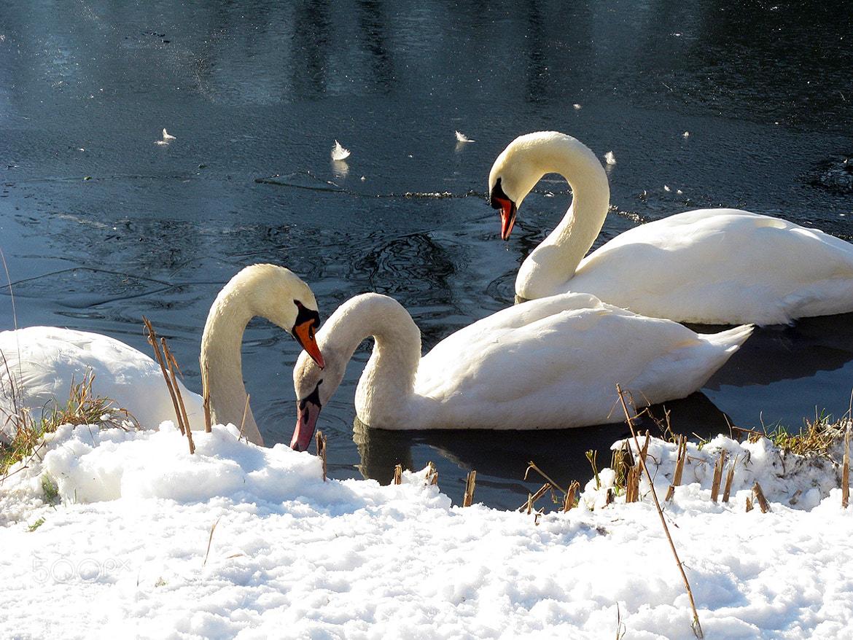 Photograph Cignes sur lac gelé, Auderghem (BE) by Claudio Nichele on 500px