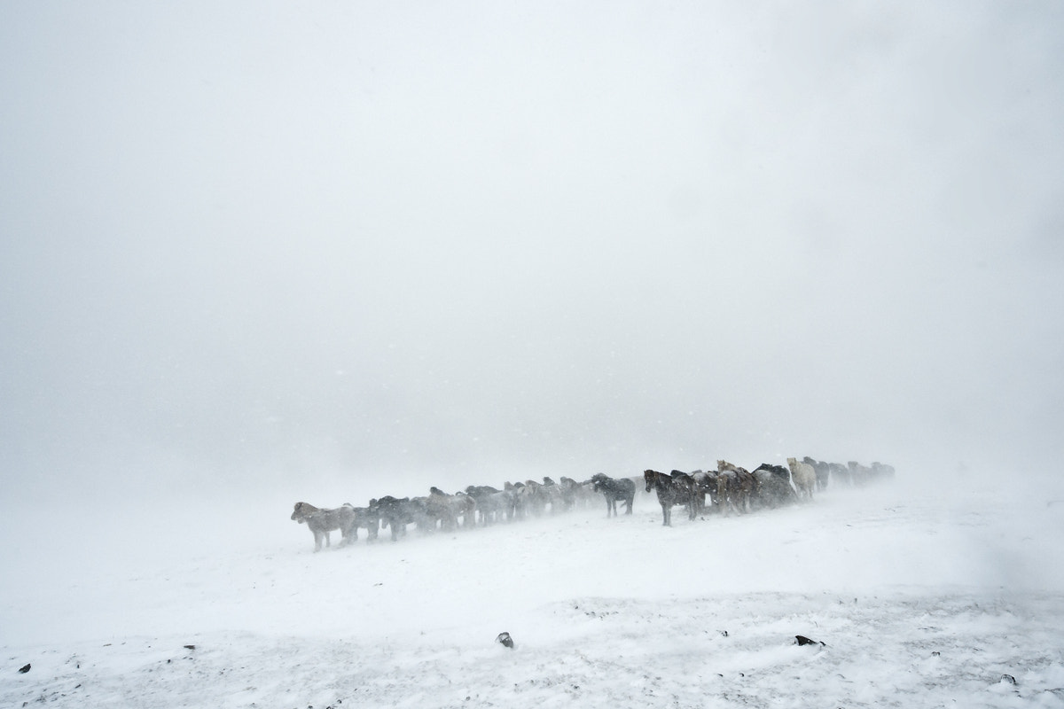 Photograph Icelandic horse in a snowstorm by Einar Gudmann on 500px