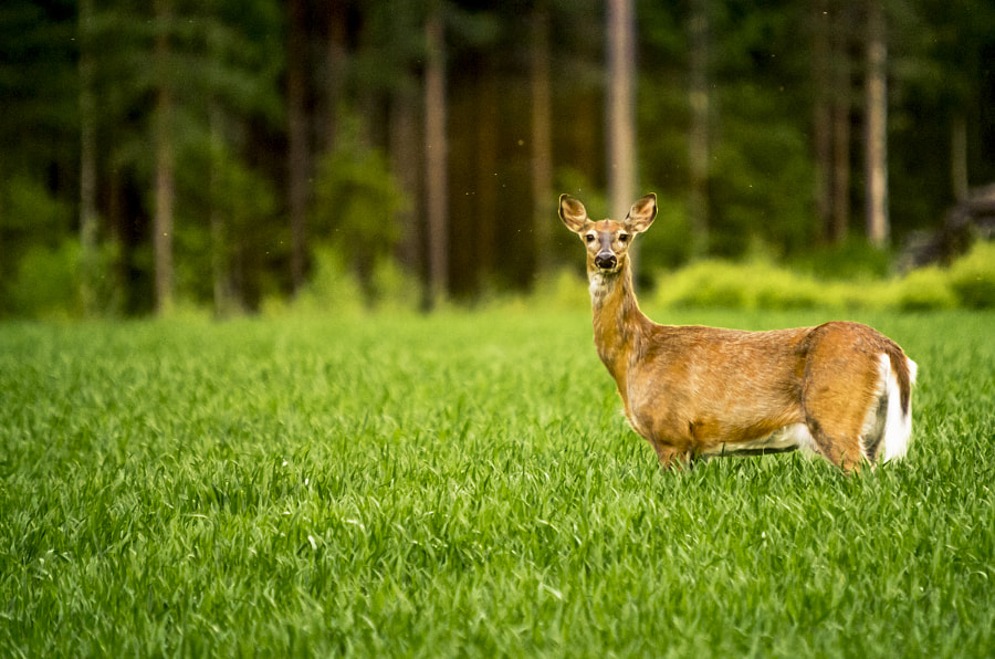 Deer by Markus Kauppinen on 500px.com