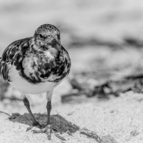 Bird in BW on Sanibel