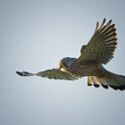 Turmfalke,Falco tinnunculus,Common Kestrel,