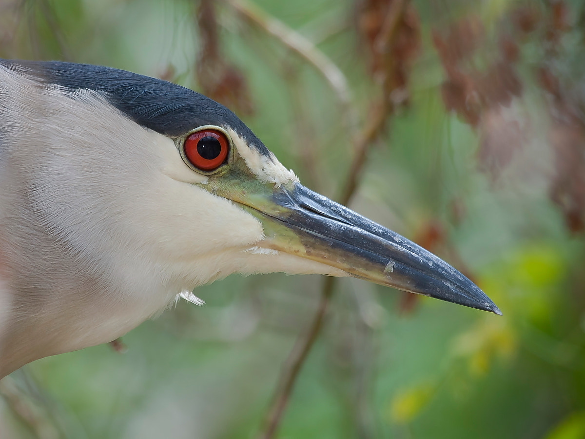 Photograph Night Heron's Eyes by Miguel Angel Leyva on 500px