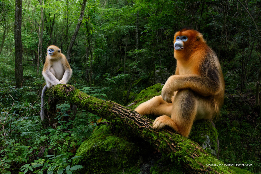 Qinling golden snub-nosed monkey by Marsel van Oosten on 500px.com