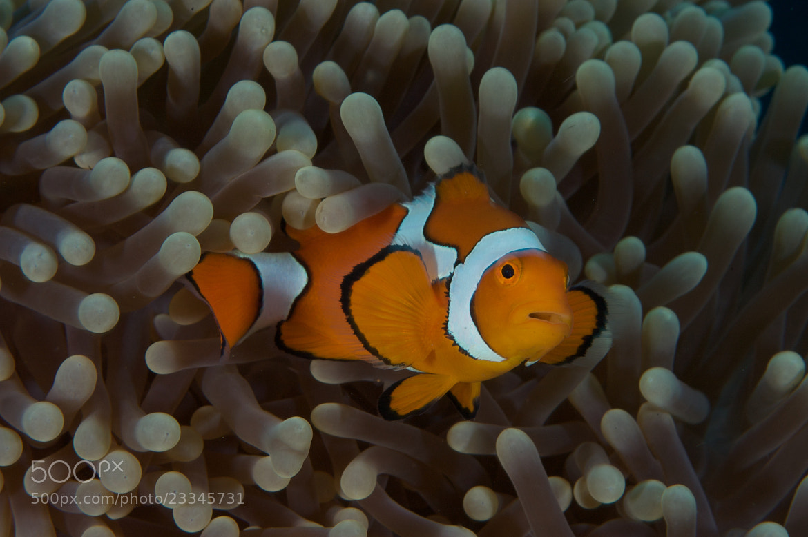 Photograph Clown Anemone Fish by Des Paroz on 500px