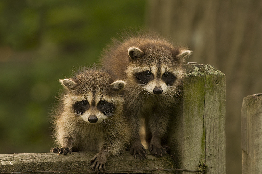 Photograph Baby Raccoons by Ginny Sussman on 500px