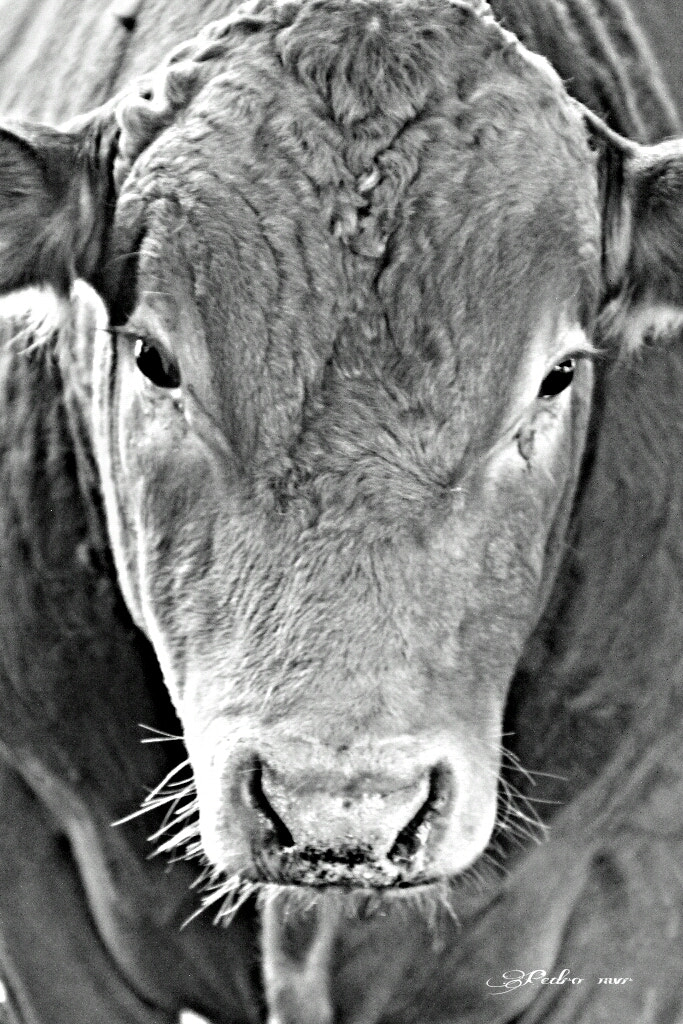 Photograph cow close up by Pedro Melendez-Valdes on 500px