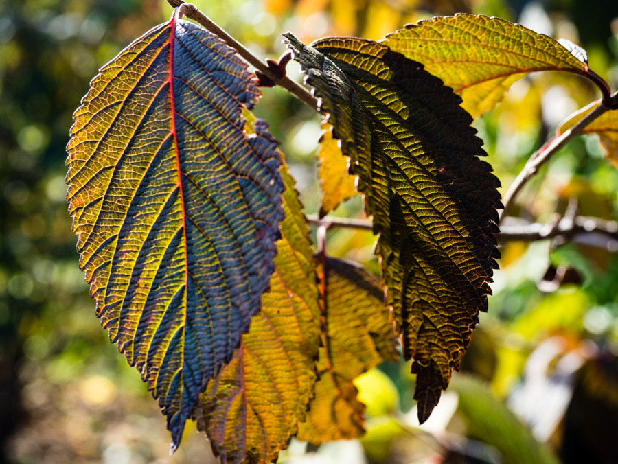 Leaves (of the Kwanzan Tree) by Nancy Lundebjerg on 500px.com