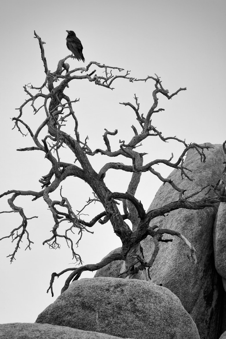 Photograph Crow and dead tree by Ian Frazier on 500px