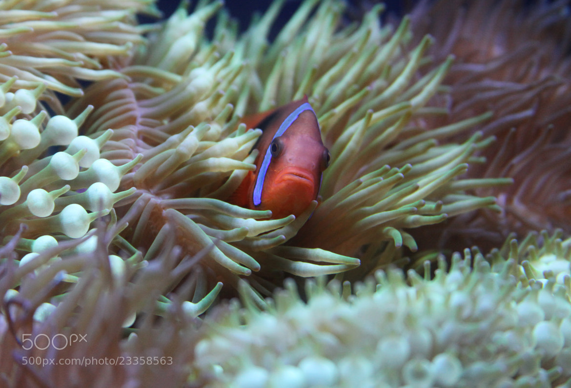 Photograph Clownfish by Laura Bellamy on 500px