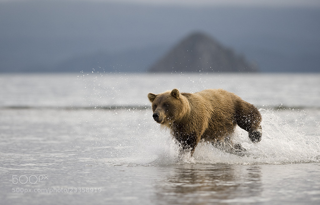 Photograph Charging bear. by Igor Shpilenok on 500px