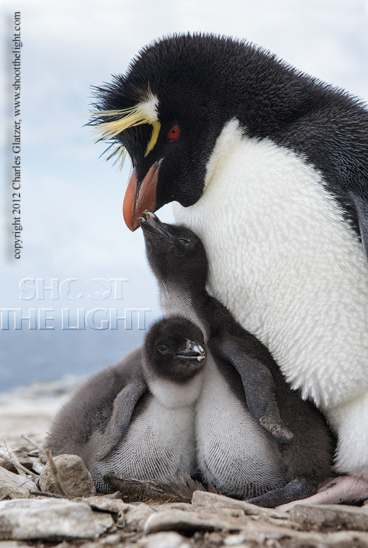 Photograph Rockhopper penguin with chicks by Charles Glatzer on 500px
