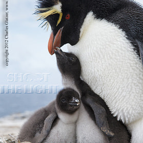 Rockhopper penguin with chicks