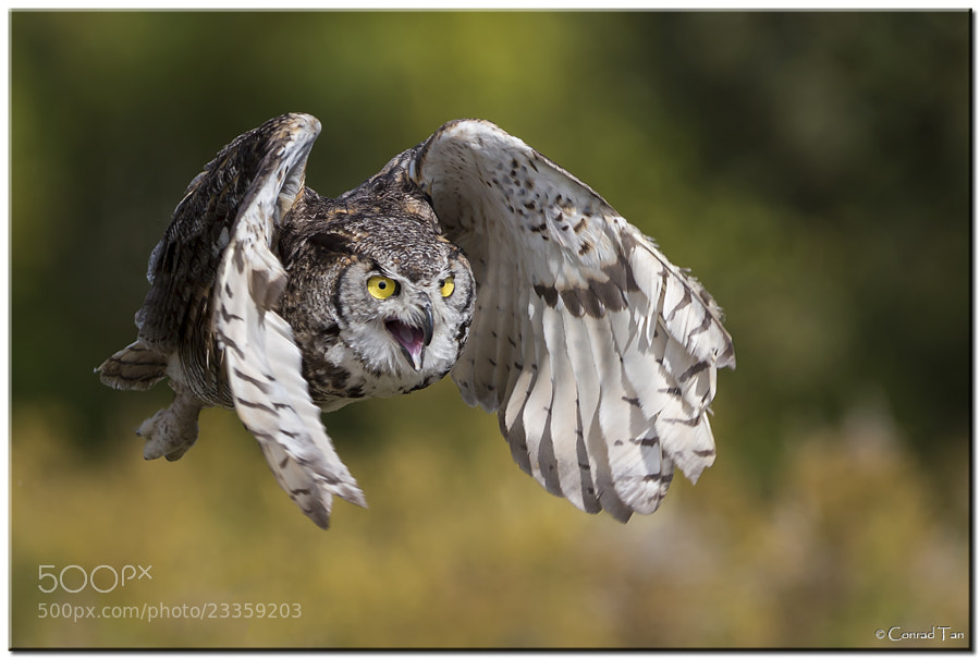 Photograph Great Horned Owl by Conrad Tan on 500px