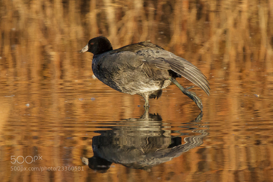 Photograph .: Stretchy Coot :. by Jon Rista on 500px