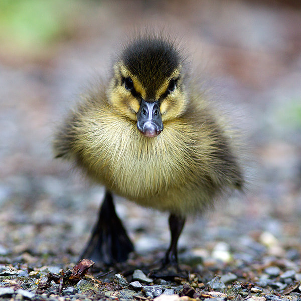 Photograph Duckling by Martin Rak on 500px