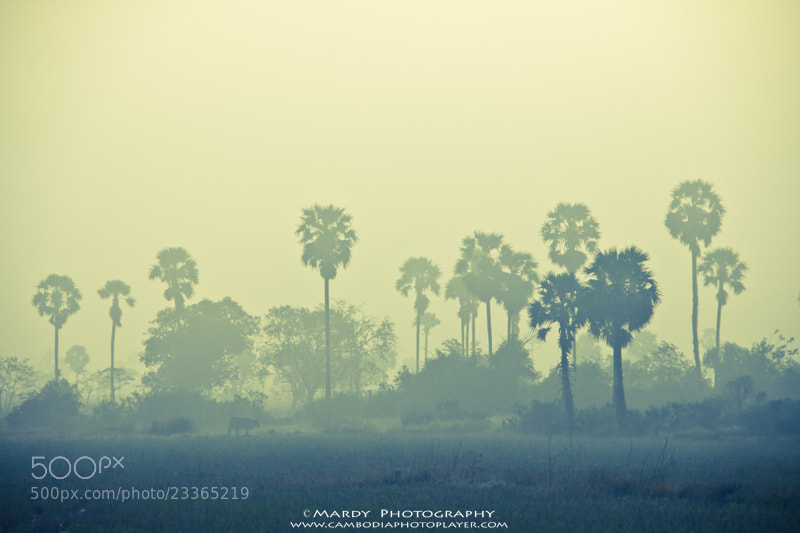 Photograph Cow and Palm Tree In The Mist! by Mardy Photography on 500px