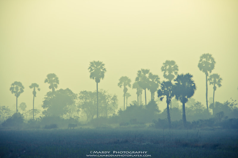 Photograph Cow and Palm Tree In The Mist! by Mardy Suong Photography on 500px