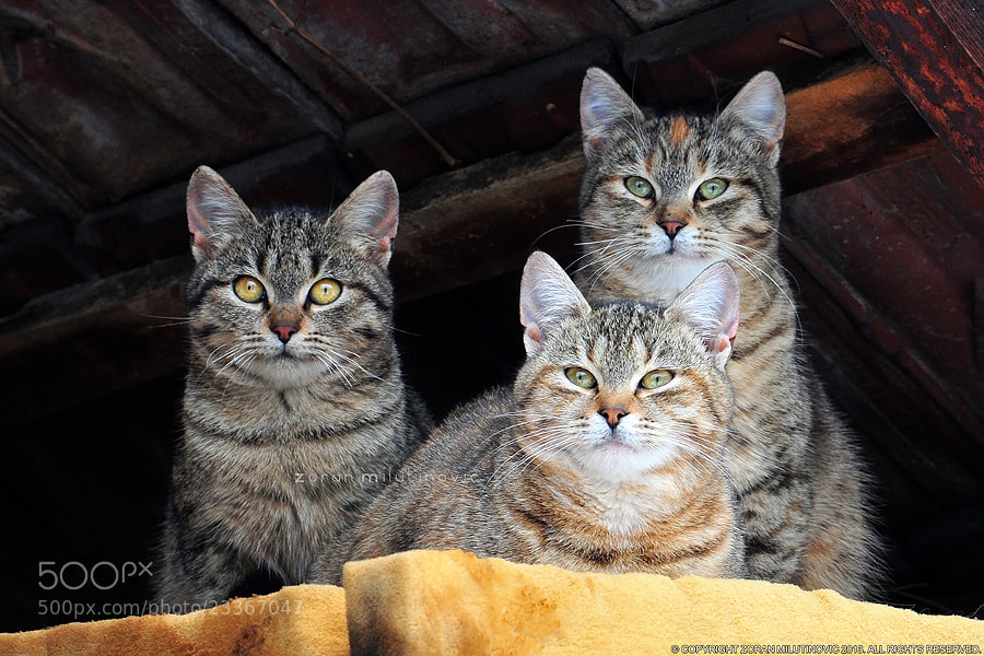 Photograph Three Whiskerteers by Zoran Milutinovic on 500px