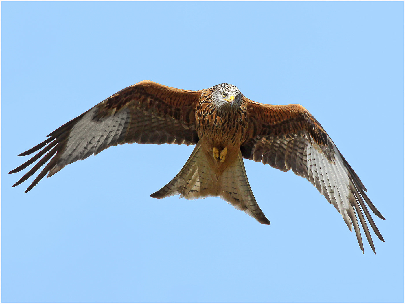 Photograph Red Kite by Alan Coles on 500px