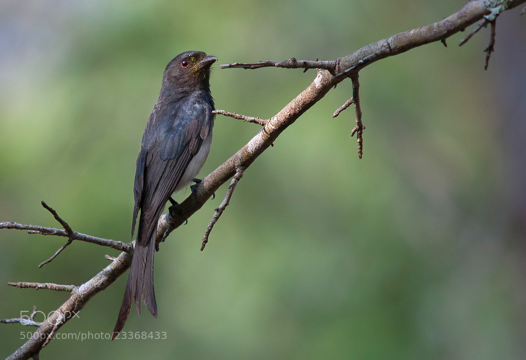 Photograph White-bellied Drongo by Girish Prahalad on 500px