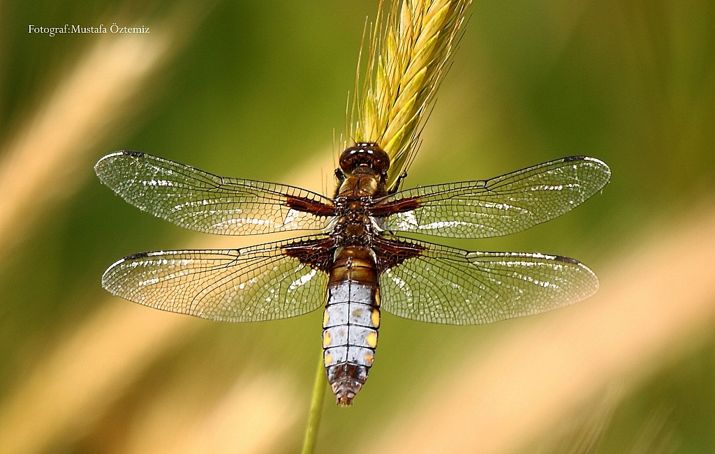 Photograph Dragonfly by Mustafa Öztemiz on 500px