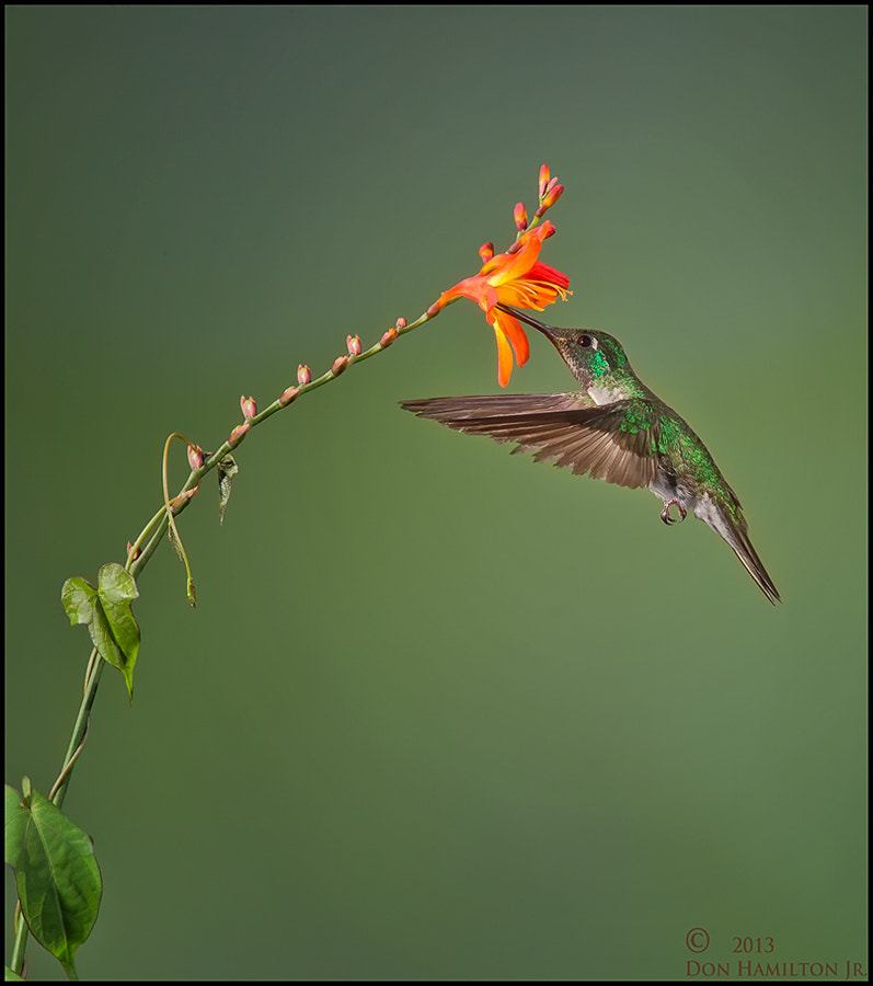 Photograph Costa Hummer!!! by Don  Hamilton Jr. on 500px