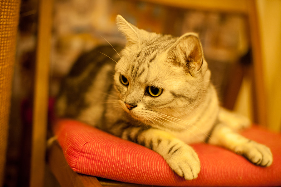500px.comのdong yiさんによるamerican shorthair cat