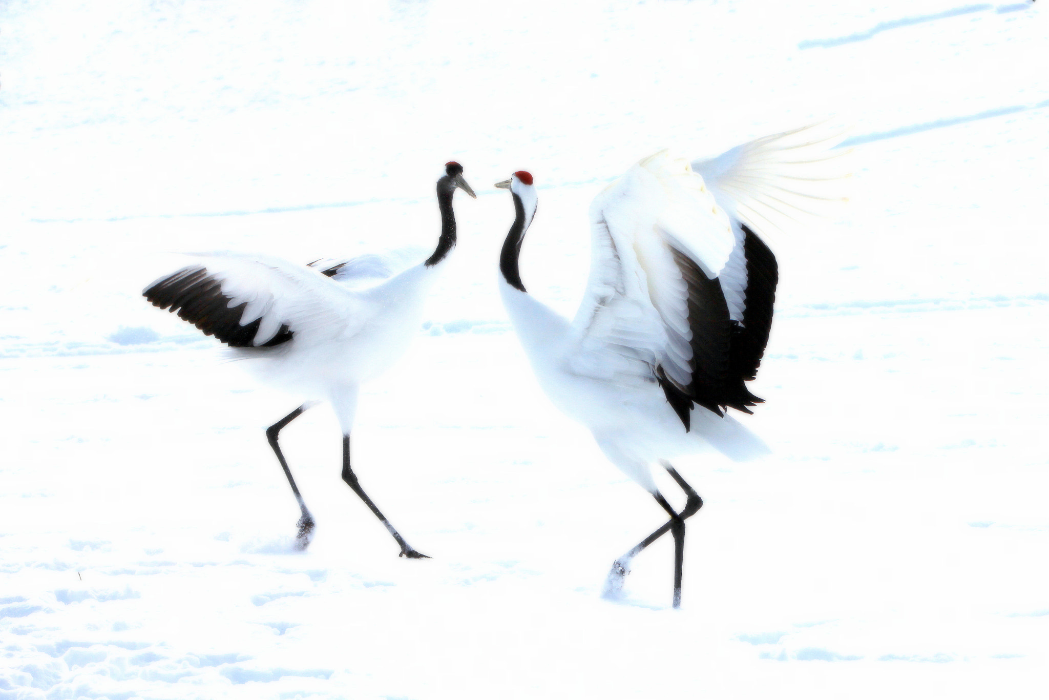 Photograph White Wedding(Courtship dance) by yume . on 500px