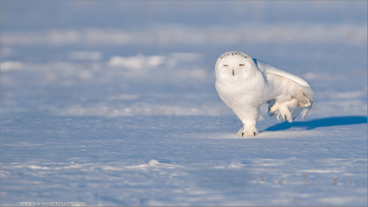 Photograph Snowy Owl passing a little Gas! by Raymond Barlow on 500px