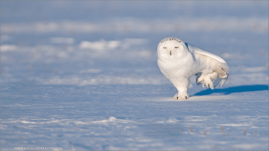 500px.comのRaymond BarlowさんによるSnowy Owl passing a little Gas!