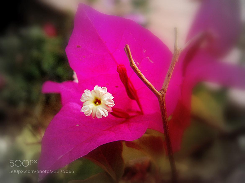 Photograph crowing a flower; boganvellia by Mahmoud Akbar on 500px