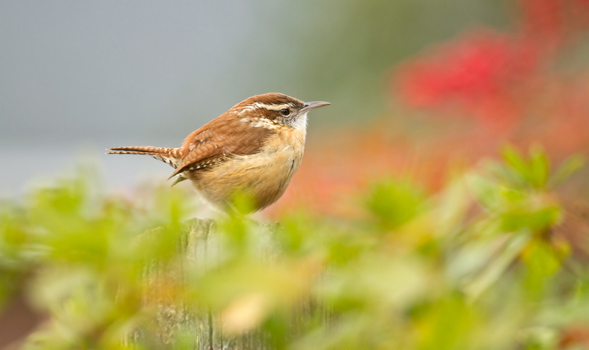 Photograph Little Wren in the Garden by Lorraine Hudgins on 500px