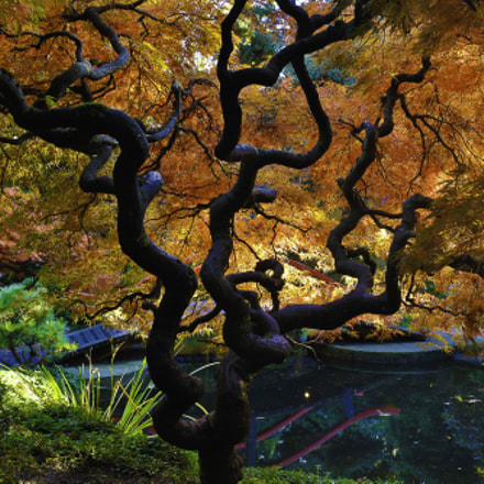 japanese maple tree 6th in a series