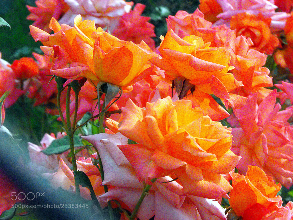 Photograph morning, roses !! by Mahmoud Akbar on 500px