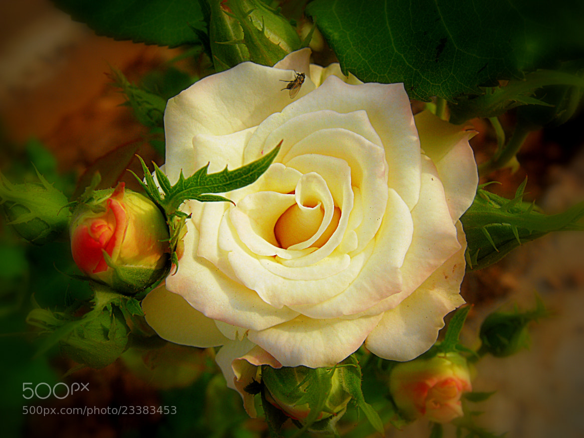 Photograph white rose by Mahmoud Akbar on 500px