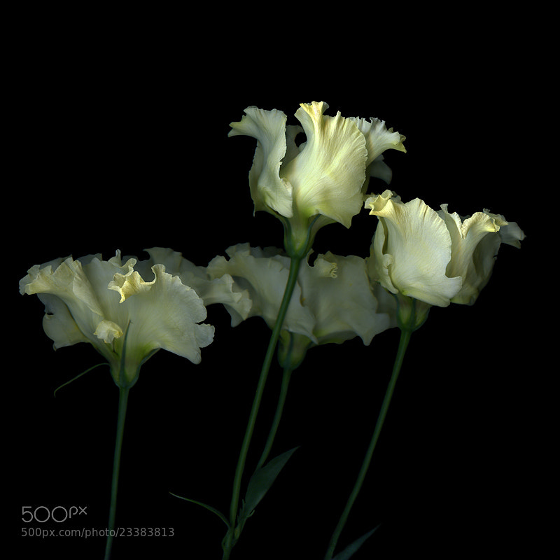 Photograph PAS de QUATRE... LYSIANTHUS... by Magda Indigo on 500px