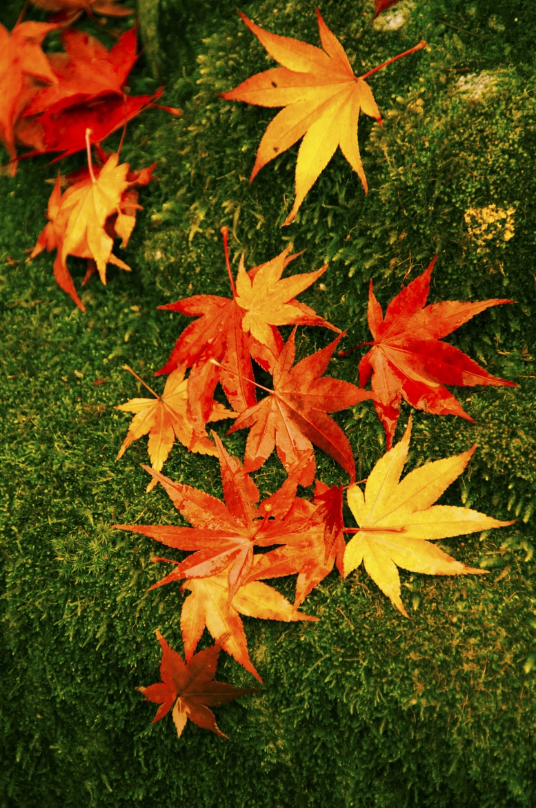 Photograph When the beauty of fall (散り際の美しさ) by Takashi Ayusawa on 500px