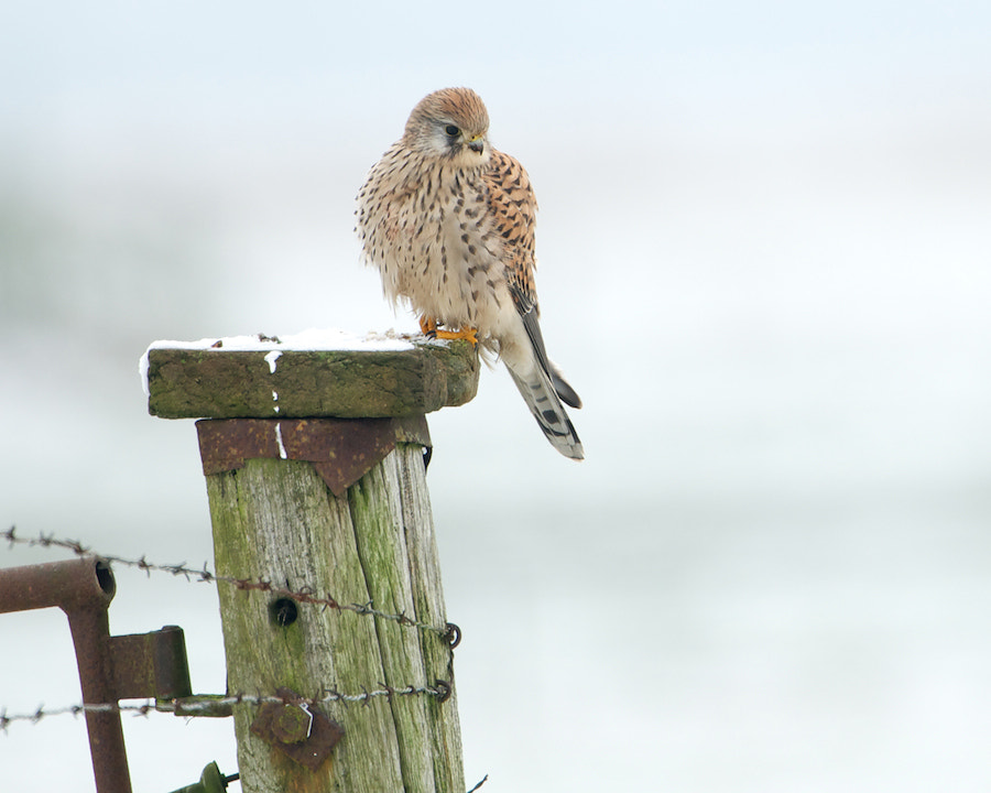 Photograph Common Kestrel by Erik Veldkamp on 500px