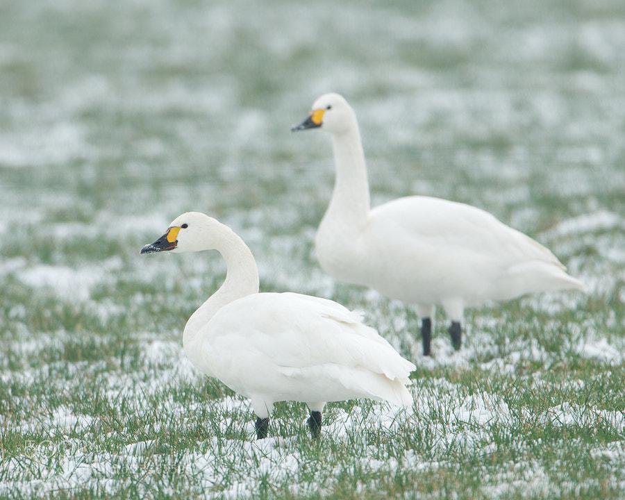 Photograph Bewick's Swans by Erik Veldkamp on 500px