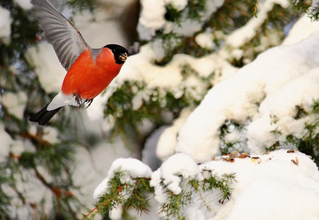 Photograph Bullfinch by Fotograf LindaElm on 500px