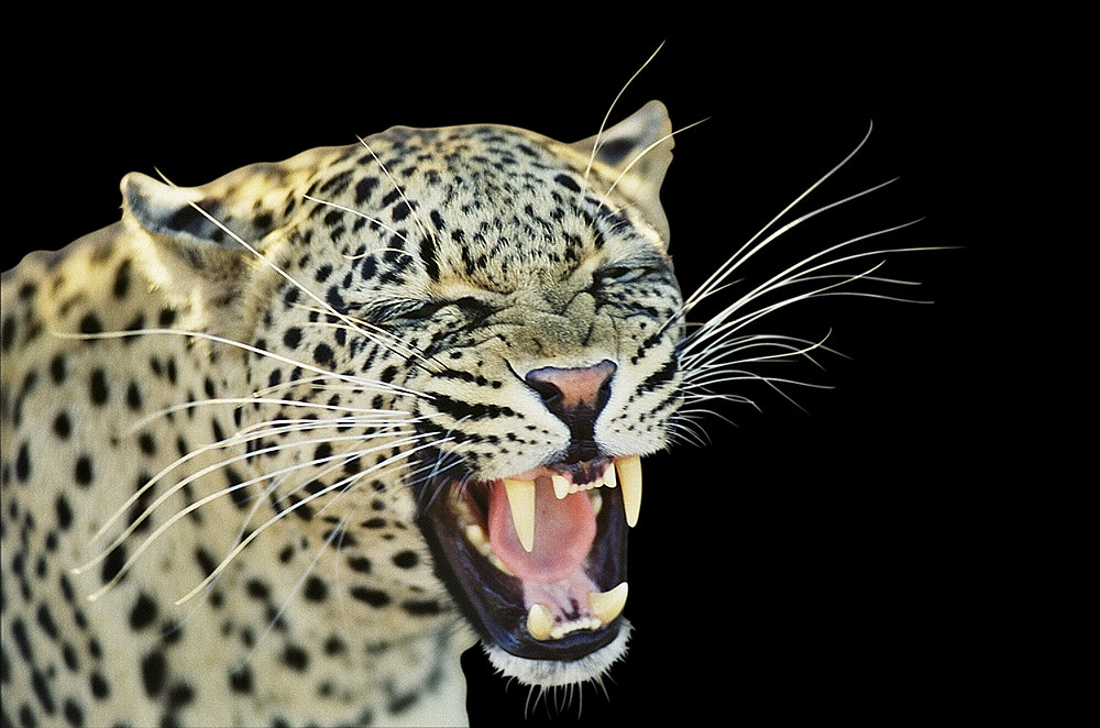 Photograph Leopard, Balule by Chris du Plessis on 500px
