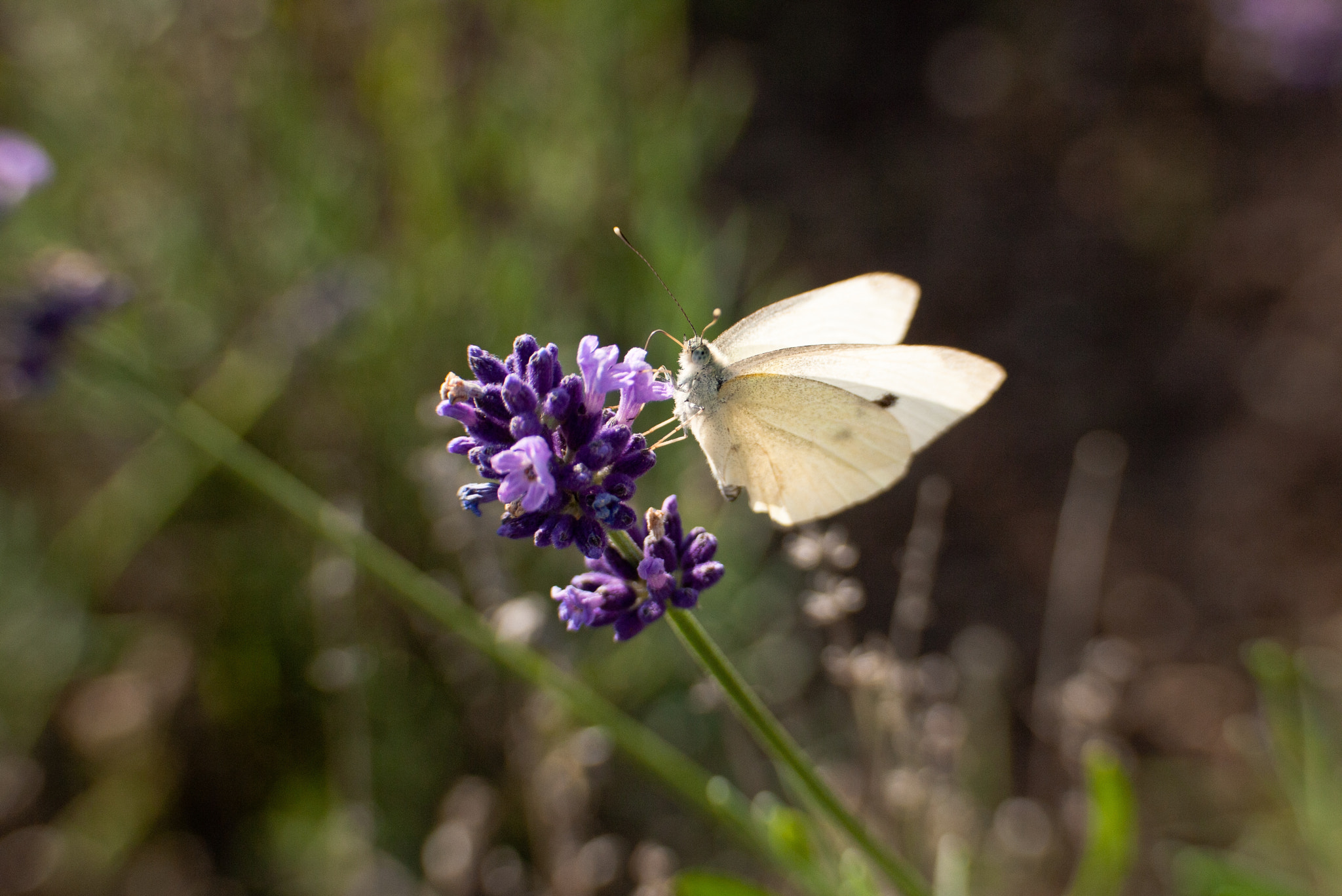 Photograph Lavender Butterfly by Felix L. Esser on 500px