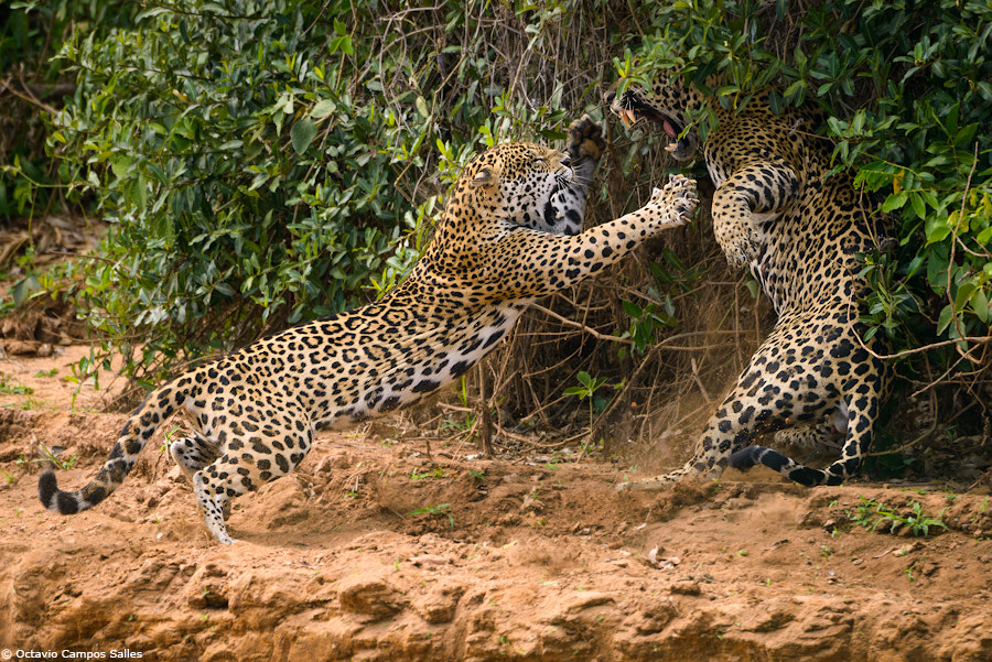Photograph Jaguar fight! by Octavio Campos Salles on 500px