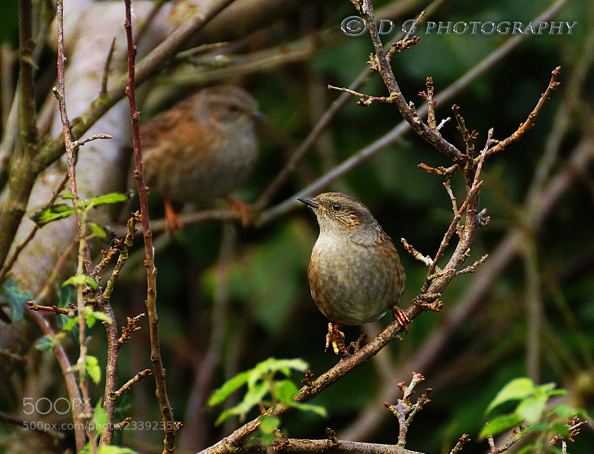 Photograph Dunnocks Pair by DAVID GAHAN on 500px