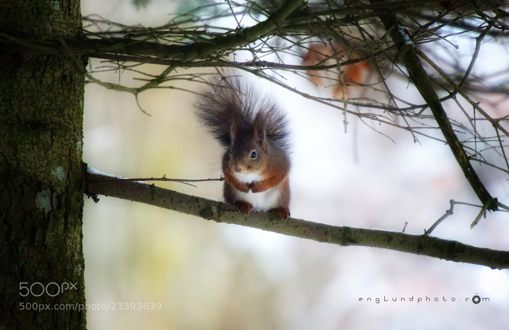 Photograph squirrel! by Linus Englund on 500px