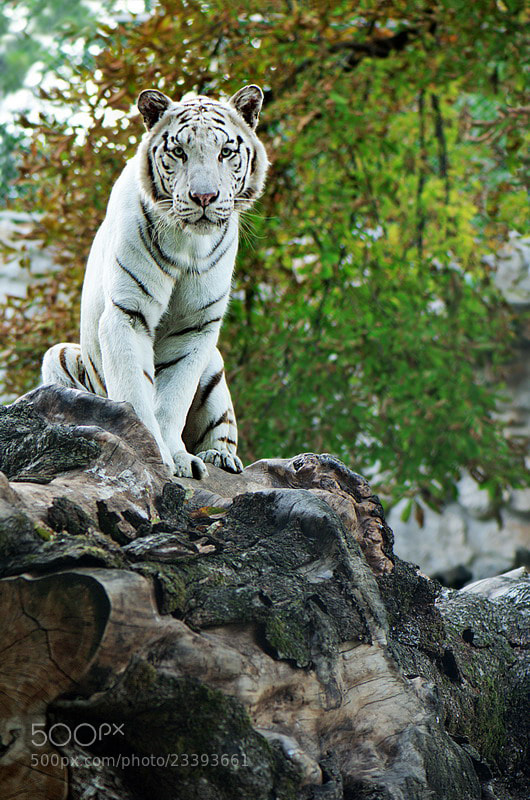 Photograph The Land of White Tigers by Aleksandar Vasic on 500px
