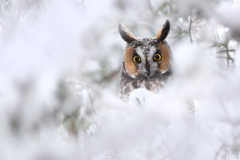 Photograph Long-eared Owl by Matthew Studebaker on 500px