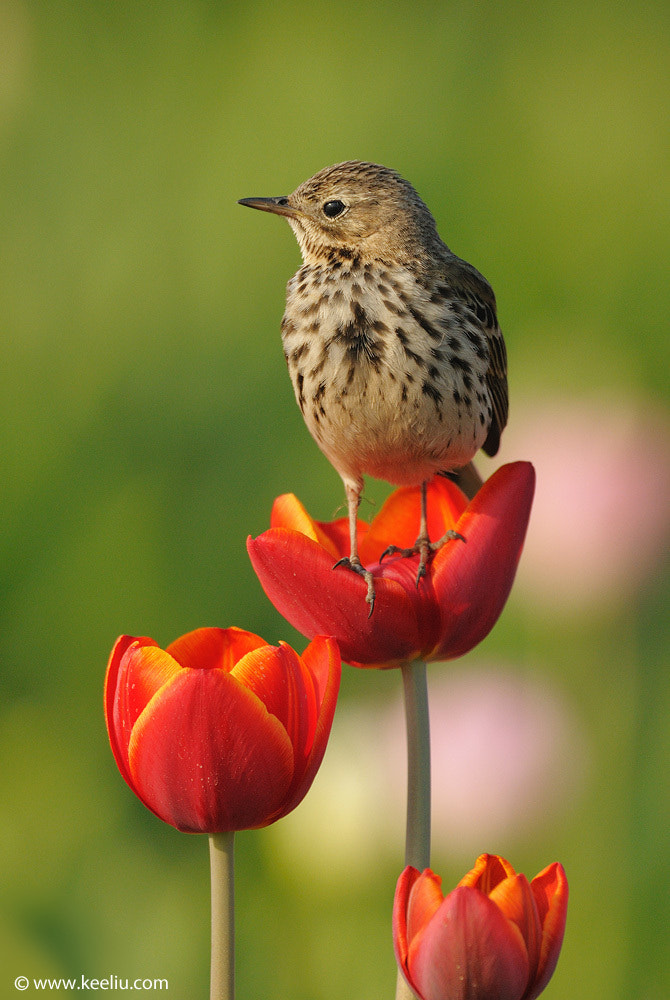 Photograph Meadow Pipit by Kee Liu on 500px