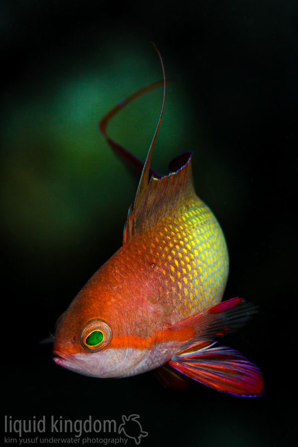 Photograph male jewel fairy basslet  by Kim Yusuf on 500px