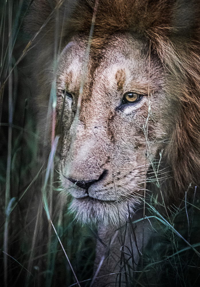 Photograph Lion sneak by Mats  Schöld on 500px